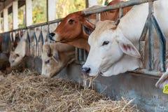 Koeien die hooi in het landbouwbedrijf voeden Royalty-vrije Stock Foto