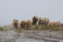 Koeien die hooi op een achterlandweg eten Stock Afbeeldingen