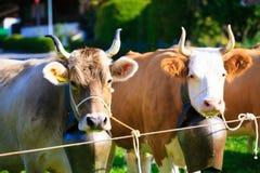 Koeien die Klaar voor Aelplerfest worden Royalty-vrije Stock Foto
