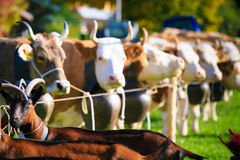 Koeien die Klaar voor Aelplerfest worden Stock Foto