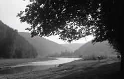 Koeien die langs de kust van een smalle ondiepe rivier lopen Royalty-vrije Stock Afbeelding