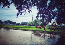 Koeien die naar huis van gebied teruggaan stock foto's