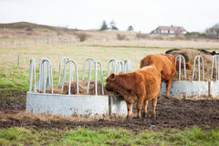 Koeien die op Boerderij weiden stock foto