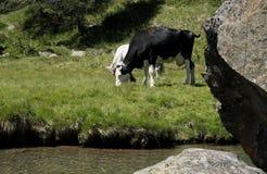 Koeien die op de kust van een rivier weiden Stock Afbeeldingen