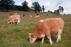 Koeien die op een gebied in Engeland weiden stock foto's
