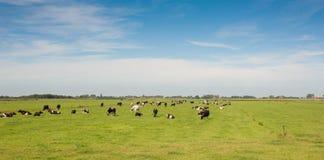 Koeien die op een gebied weiden Stock Foto
