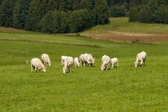 Koeien die op een groen gebied weiden Stock Afbeeldingen