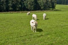 Koeien die op een groen gebied weiden Stock Fotografie