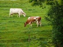 Koeien die op een groene heuvel weiden stock foto's
