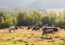 Koeien die op een groene weide op een zonnige dag weiden Royalty-vrije Stock Fotografie