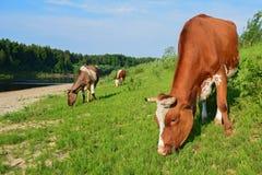 Koeien die op een vers groen gebied met een blauwe hemel weiden Royalty-vrije Stock Foto