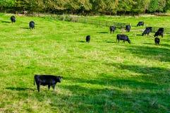 Koeien die op een vers groen gebied weiden Stock Foto