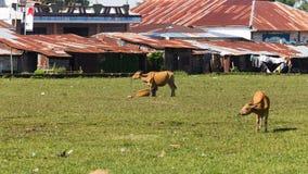 Koeien die op een weide weiden stock afbeeldingen