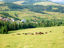 Koeien die op een weiland in de Karpaten, de Oekraïne weiden Stock Foto's