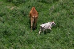 Koeien die op groen gebied weiden stock fotografie