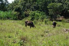 Koeien die op groene plateaus weiden stock foto's