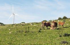 Koeien die op het gebied weiden Stock Afbeeldingen