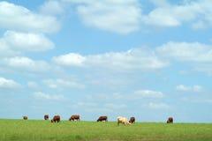 Koeien die op het gebied weiden Stock Foto's