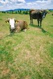 Koeien die op heuvel rusten stock afbeelding