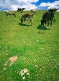 Koeien die op heuvel weiden Stock Foto's