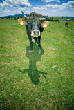 Koeien die op heuvel weiden Stock Foto