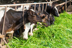 Koeien die op Landbouwbedrijf gras eten Royalty-vrije Stock Afbeelding