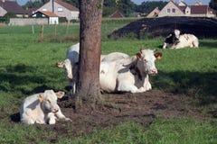 Koeien die op toneel de zomergebieden weiden royalty-vrije stock fotografie