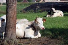 Koeien die op toneel de zomergebieden weiden stock foto
