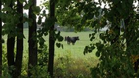 Koeien die op weide weiden Ontworpen tussen takken en bladeren stock footage