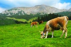 Koeien die in platteland weiden Stock Afbeelding