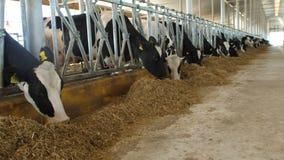 Koeien die proces op modern landbouwbedrijf voeden Sluit koe omhoog het voeden op melklandbouwbedrijf Koe die op melkveehouderij  stock videobeelden