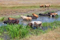 Koeien die in rivier baden royalty-vrije stock foto