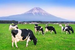 Koeien die weelderig gras op het groene gebied voor Fuji-berg, Japan eten royalty-vrije stock foto