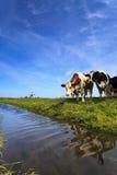 Koeien die zich bij een sloot bevinden Royalty-vrije Stock Foto's