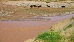 Koeien die zich door kreek bevinden stock video