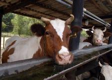 Koeien die zich in een box bevinden Royalty-vrije Stock Afbeelding