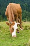 Koeien die zich op groen gebied met bergen bevinden en gras eten De achtergrond van de Karpaten Stock Afbeelding