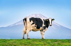 Koeien die zich op het groene gebied voor Fuji-berg, Japan bevinden stock foto's