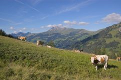 Koeien die in Zwitserse Alpen weiden Stock Afbeeldingen