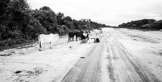 Koeien door de zandige weg in Mozambique royalty-vrije stock afbeelding