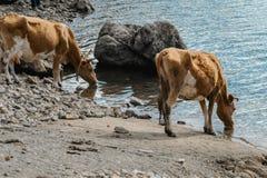 Koeien drinkwater in de rivier royalty-vrije stock afbeeldingen