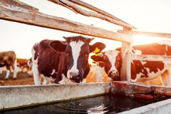 Koeien drinkwater op boerenerf bij zonsondergang Vee die in openlucht in platteland lopen royalty-vrije stock fotografie