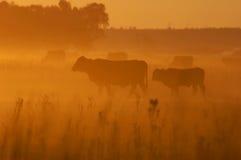 Koeien in droogte Royalty-vrije Stock Afbeeldingen