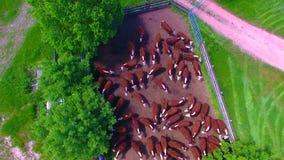 Koeien in een boerenerf stock videobeelden