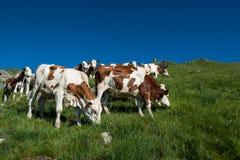 Koeien in een hoog bergweiland Stock Foto