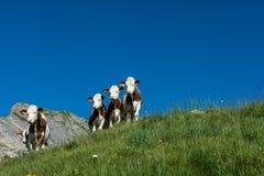 5 koeien in een hoog bergweiland Stock Foto's