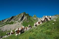 Koeien in een hoog bergweiland Stock Foto's