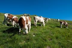 Koeien in een hoog bergweiland Royalty-vrije Stock Fotografie