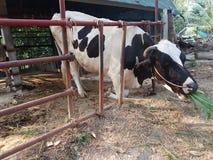 Koeien in een landbouwbedrijf Royalty-vrije Stock Foto's