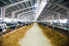 Koeien in een landbouwbedrijf Melkkoeien royalty-vrije stock foto